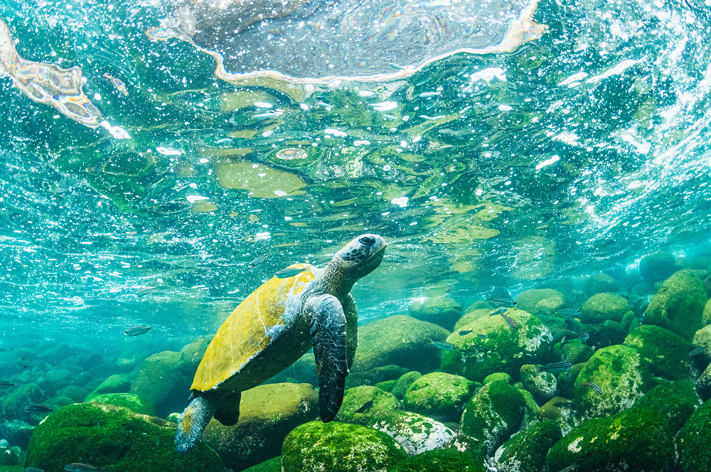 Galapagos green sea turtle (Chelonia mydas agassizi) heading to the surface for a breath. Isabela Island, Galapagos, Ecuador.