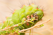Emperor moth caterpillar (Saturnia pavonia). Dorset, UK.