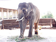 "Exclusive<br /> <br /> Sir Paul McCartney Still chained and beaten despite the fact that the Bombay high court weeks ago ordered the animal's release to a sanctuary.<br /> <br /> <br /> A beaten and chained Indian elephant that Sir Paul McCartney campaigned to rescue is being treated as cruelly as ever in captivity and is now suffering a severe, raw, gaping leg wound, despite the fact that the Bombay high court weeks ago ordered the animal's release to a sanctuary.<br /> The animal rights group People for the Ethical Treatment of Animals (PETA) has revealed that the 14-year-old elephant, called Sunder, had a ""massive wound … as a result of constant tying with heavy chains"" when a vet last week visited the animal at the old poultry shed where he is being kept in Kolhapur, India. The vet's report stated that Sunder should be rescued ""on an emergency basis"".<br /> A campaign backed by former Beatle Sir Paul was launched by PETA two years ago to free Sunder from the Hindu temple where he was being kept at that time, after it emerged that the elephant was being beaten by his handler. The elephant had a number of scars, as well as a nasty eye injury and a hole in his ear. Sir Paul wrote a letter to India's forest minister in July 2012. He wrote: ""I have seen photographs of young Sunder … put in chains with spikes. Years of his life have been ruined by keeping him and abusing him in this way and enough is enough.""<br /> Pamela Anderson also supported the campaign.<br /> Sunder spent six years chained at the Jyotiba Temple in Kolhapur, a city south of Mumbai in India, after he was donated by a local politician. Soon after the campaign's launch, the elephant was moved to the poultry shed in Kolhapur, in the state of Maharashtra, against the orders of authorities that he should be sent to a sanctuary to roam free. A hearing in the Bombay high court last month concluded that the Maharashtra forest department - the only government body with the authority to move Sunder - should send the animal to a sanctuary in Bangalo"