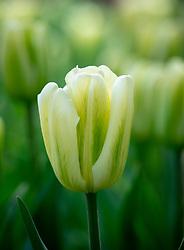 Tulipa 'Green Spirit'