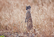 Yellow mongoose standing on hind legs, in grassland, in Etosha national park.