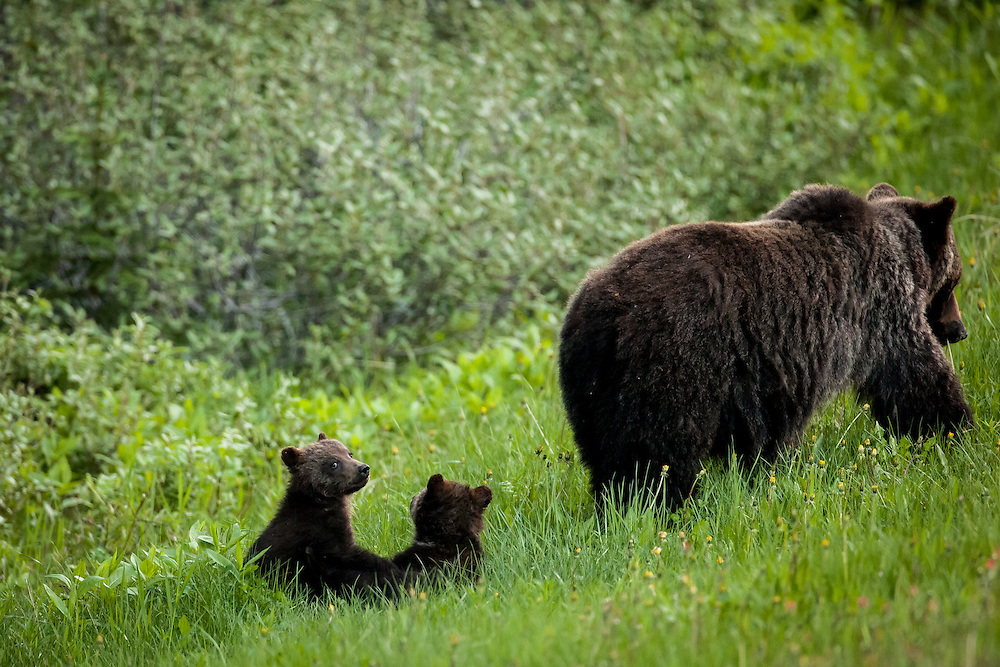 Grizzly bear cubs with sow, Kananaskis, Alberta, Canada