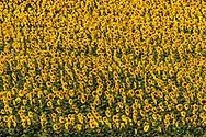 Full growth stand of Sunflowers near Okaton, South Dakota, USA