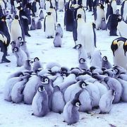 Emperor Penguin, (Aptenodytes forsteri) Chicks in creches to keep warm. Riiser Larsen ice shelf. Antarctica.