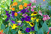 Flower garden of multicolored pansies. Clitherall Minnesota MN USA
