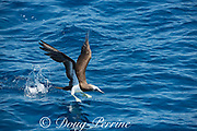 brown booby, Sula leucogaster, taking off from water, offshore from southern Costa Rica, Central America ( Eastern Pacific Ocean )