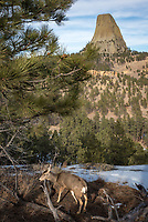While hiking off-trail around Devils Tower, I encountered several deer. They were barely afraid of me at all, and let me get pictures with the tower in the background.