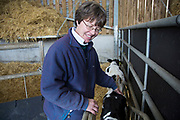 Sally Banks checking up on the new calves where they are kept in different pens depending age. Wearing collars which trigger the automatic feeding machines which mix milk with powdered milk to order for each individual, and tags on their ears for identification, they are very closely monitored. Here a calf is being assisted in suckling the milk. Wildon Grange Dairy Farm, Coxwold, North Yorkshire, UK. Owned and run by the Banks family, dairy farming here is a scientific business, where nothing is left to chance. From the breeding, nutrition and health of their closed stock of Holstein Friesian cows, through to the end product, the team here work tirelessly, around to clock to ensure content and healthy animals, and excellent quality milk.