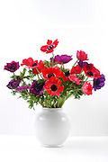 Red Anemone coronaria in a white vase