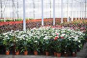 Nederland, Huissen, 10-12-2015 Een hypermoderne kas in het kassen gebied Bergerden. Hier worden alleen Anthuriums gekweekt. Foto: Flip Franssen