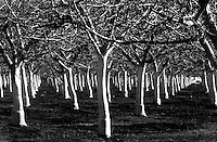 Orchards in Dixon CA, Wednesday February 23, 2005.