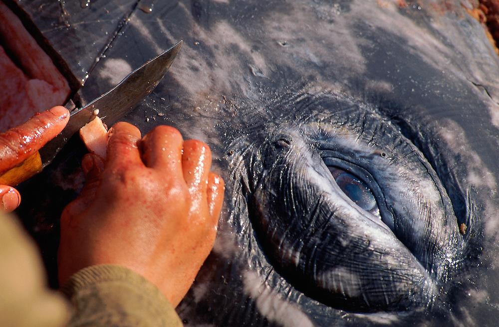 Chukchi whale hunter carving up the whale, Chukotka, Siberia, Russia, Arctic
