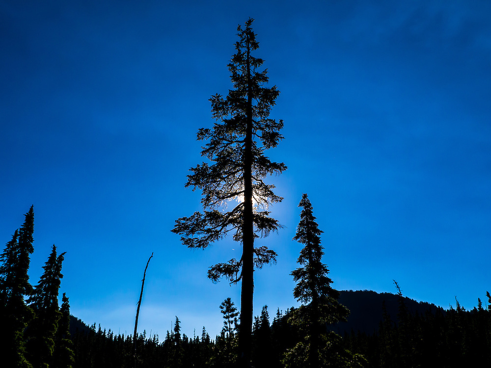 A single coniferous tree is silhouetted and backlit by the sun in a dark blue sky in Strathcona Provincial Park, Vancouver Island, BC Canada