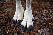 The hooves of a Mongolian reindeer (Rangifer tarandus) in the northern Mongolian province of Khovsgol, Khovsgol, Mongolia