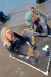 Measuring Shovelnose Guitarfish
