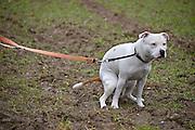 Nederland, Born Limburg, 28-2-2013Een stafordshire terrier hond doet zijn behoefte in de berm van een landweggetje.Foto: Flip Franssen/Hollandse Hoogte