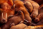 Walruses sleeping on the beach, Bennett Island, Arctic Siberia