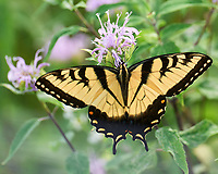 Eastern Tiger Swallowtail butterfly feeding on a Bee Balm flower. Image taken with a Leica SL2 camera and 90-280 mm lens.