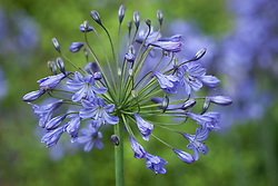 Agapanthus 'Blue Triumphator'. African lily