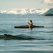 "This was my first ever memorable day kayaking with humpback whales in Southeast Alaska; an amazing day that set the tone for another 20 years of involvement there with the whales. It was a beautifully flat calm day out on the water and there was a large pod of humpback whales feeding in the vicinity of the Brothers Islands where we were moored with ""Avalon"". It was the day when I realized that a kayak was the only way that I could really appreciate being around the whales without disturbing them or interrupting their natural feeding behaviour. I discovered that they are completely safe to be around and that I could manoeuvre the kayak more than adequately to stay out of their way. It was such an adrenaline-rush to be so close to them, and to be able to feel their power and energy transmitted through the water."