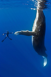 humpback whale, Megaptera novaeangliae, and diver, reaching out for a physical contact, Pacific Ocean, Model Release: MR-000045