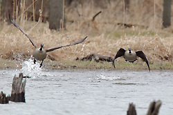 A pair of Canadian Geese take flight over a small cove