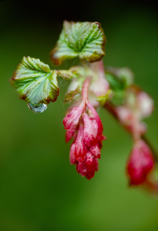 Red current (Ribes sanguineum), Pacific Northwest,  USA