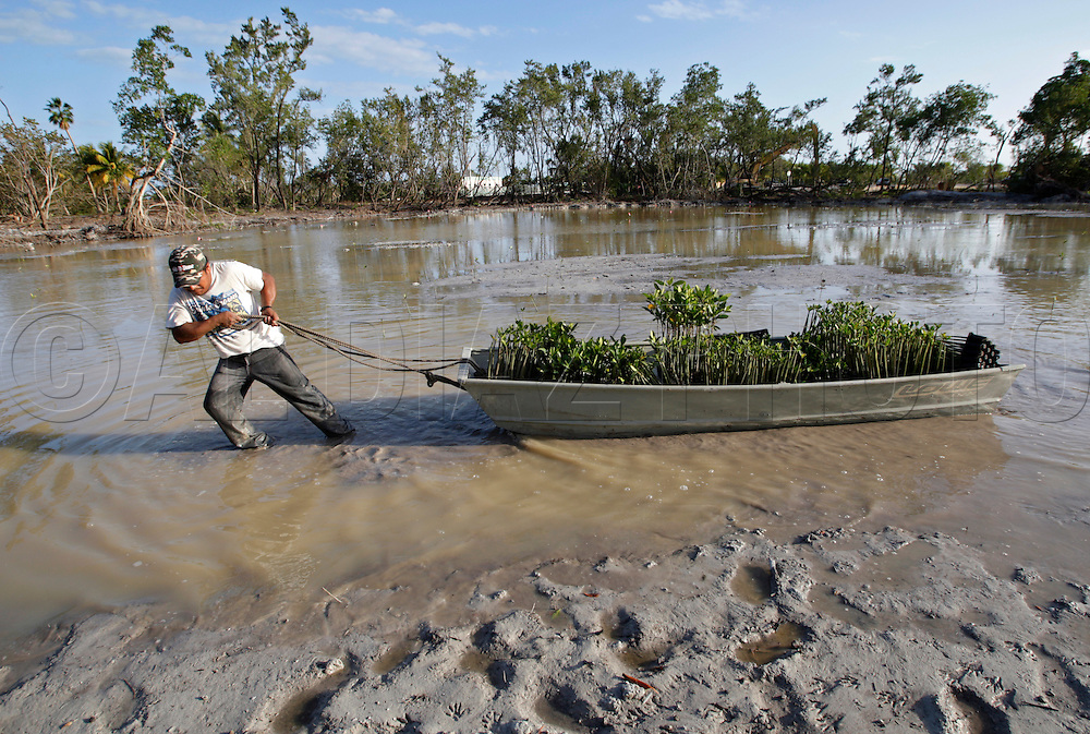 2-6-08 Al Diaz / Miami Herald--Rosendo Hernandez, pulls a boat full of new mangroves to be planted in the marsh. DERM is in the middle of an environmental restoration of 60 acres at Virginia Key once overrun by Australian pines and other exotics. Land is being cleared, a tropical hardwood hammock, wetlands, marshlands and mangroves are being restored. Environmental Resources Project Supervisor for Miami-Dade, Gary Milano says native wildlife is starting to populate the area. .Rosendo Hernandez, pulls a boat full of new mangroves to be planted in the marsh..
