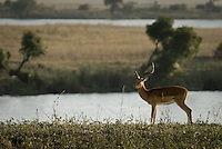 A Common Impala standing on a river bank in Chobe National Park, Botswana