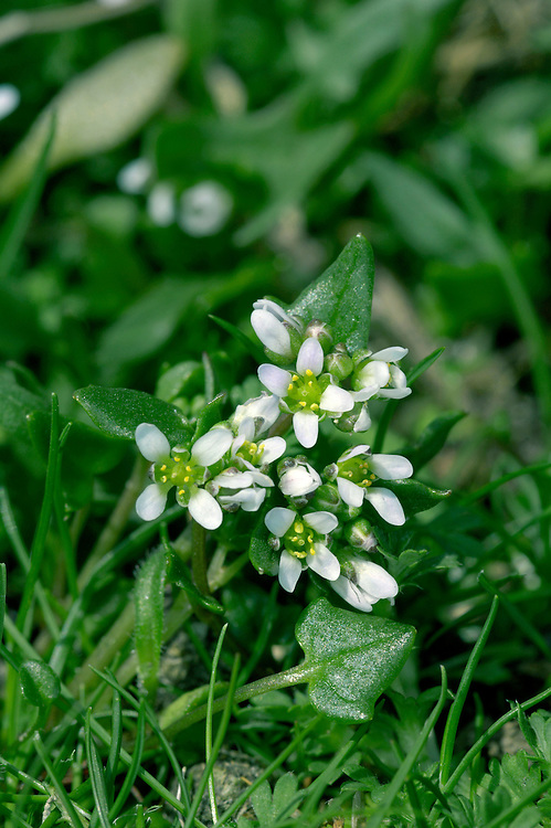 DANISH SCURVYGRASS Cochlearia danica (Brassicaceae) Height to 20cm. Compact, often prostrate, annual of sandy soils, shingle and walls, mainly around the coast. FLOWERS are 4-6mm across with 4 white petals (Jan-Aug). FRUITS are ovoid and 6mm long. LEAVES comprise long-stalked heart-shaped basal leaves and stalked, ivy-shaped stem leaves. STATUS-Widespread and common around most coasts.