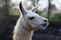 Peri the Llama, ZSL London Zoo Annual Stocktake 2016, Regents Park, London UK, 04 January 2016, Photo By Brett D. Cove