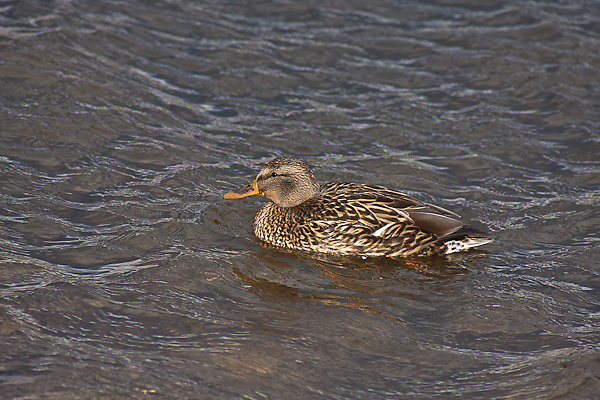 Mallard (Anas platyrhnchos) female swimming in a lake.  Female:  Brown-streaked; orange bill broadly marked with black in the center; whitish tail feathers.