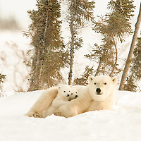 This Polar  Bear Mother with her two three-month-old cubs have recently left their birthing den in Wapusk National Park south of Churchill, Manitoba Canada near the Hudson Bay.
