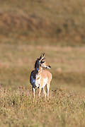 Female Pronghorn (antelope) in autumn habitat.