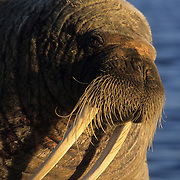 Walrus male rests on a chunk of ice. Baffin Island, Canada