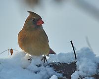 Northern Cardinal (Cardinalis cardinalis). Image taken with a Nikon D5 camera and 600 mm f/4 VR lens