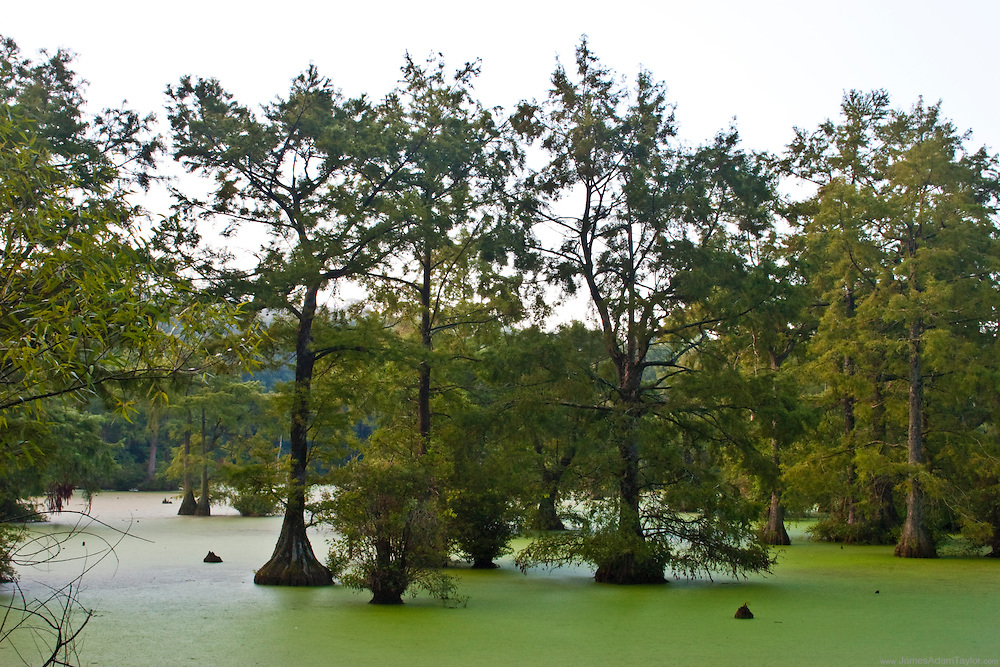 Bald Cypress in the northernmost extent of their range, Trussum pond, Delaware.