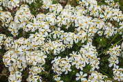 White alpine flowers on Piute Pass trail. John Muir Wilderness, Inyo National Forest, Mono County, California, USA.