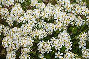 White alpine flowers on Piute Pass trail. John Muir Wilderness, Inyo National Forest, Mono County, California, USA.
