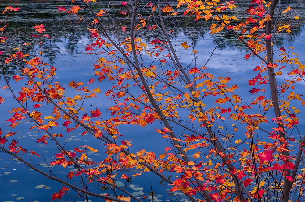 Fall foliage along waters edge, Koening WMA, Moultonborough, NH