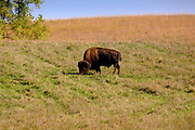 08 OCTOBER 2020 - PRAIRIE CITY, IOWA: American bison (genus: Bison species B. bison) grazing in the bison area at Neal Smith National Wildlife Refuge. The refuge has an 800 acre bison enclosure.  Bison were once common in Iowa, but they were hunted to near extinction in the early 1800s, as European settlers moved in the territory.     PHOTO BY JACK KURTZ