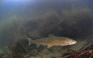 Round Whitefish, Underwater