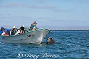 friendly gray whale calf, Eschrichtius robustus, spyhops next to a whale-watching tour boat, San Ignacio Lagoon, El Vizcaino Biosphere Reserve, Baja California Sur, Mexico