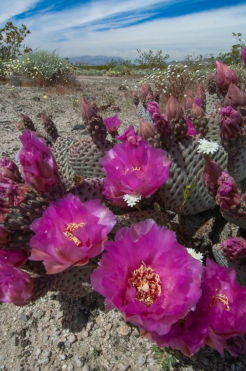 Beavrtail cactus, April, Mohave National Preeserve, California, USA