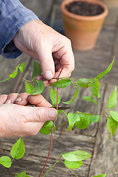Taking leaf bud cuttings from Clematis 'Huldine'