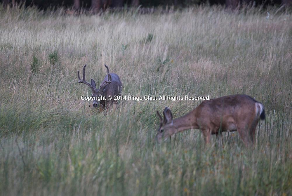 Deers at Yosemite National Park, California. (Photo by Ringo Chiu/PHOTOFORMULA.com)