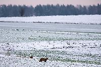 Podlasie, 30.11.2020. Pierwsze wieksze opady sniegu na Podlasiu tej zimy N/z lis szuka pozywienia na osniezonym polu fot Michal Kosc / AGENCJA WSCHOD