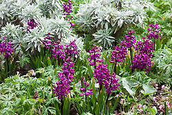Hyacinthus orientalis 'Woodstock' with Helichrysum stoechas 'White Barn' and Geranium macrostylum. Hyacinths