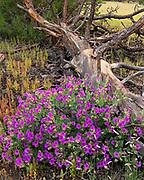 Colorado Four O'clock Flowers and Ponderosa Pine Snag, Coconino National Forest, Coconino County, Arizona