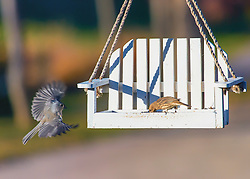 A Tufted Titmouse comes in for a landing on a white seed feeder occupied by a sparrow